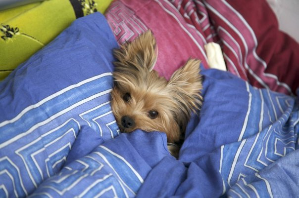 cute, hiding, puppy, yorkie