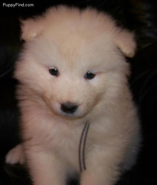 cute, northern dog breeds, puppies, sammies, samoyeds