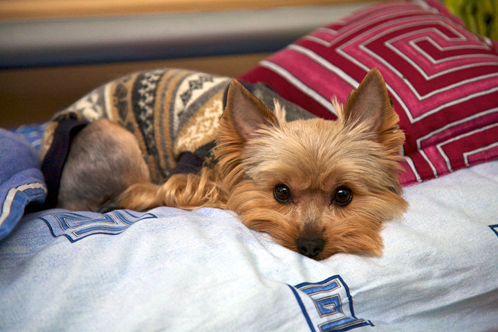 cute, puppy, yorkie