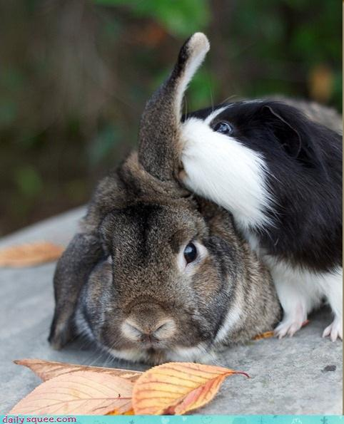 adorable, autumn, bite, black, brown, bunny, cute, fluffy, guinea, pig, rabbit, white