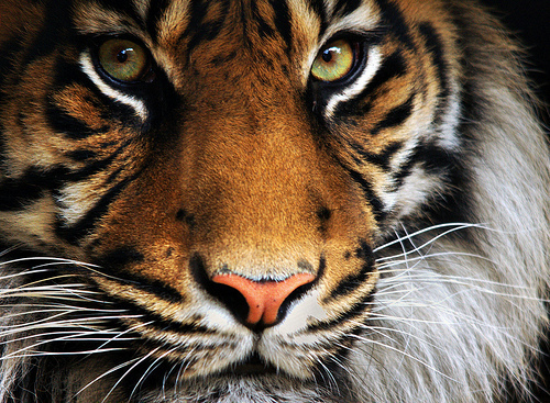 animal, beautiful, cute, eyes, tiger