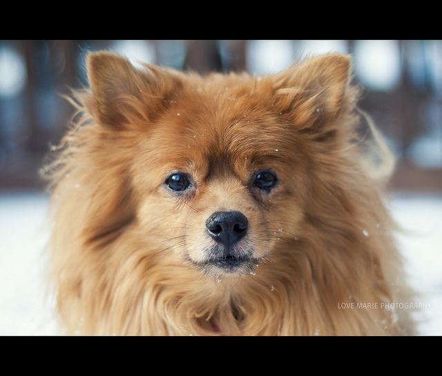 animal, biscuit, dog, pomeranian, puppy