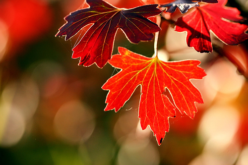 autumn, fall, leaf, maple, nature, orange, red, tree