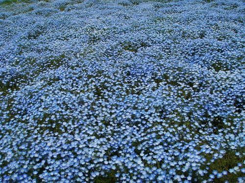 beautiful, blue, cape blumbago, field, flower field