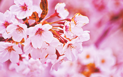 cherry blossoms, floral, flowers, photography, pink