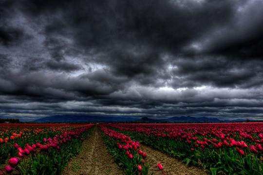 dark, field, photography, pink, rows, sky, storm, thunder, tulips