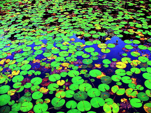 green, lily, lily pads, nature, water